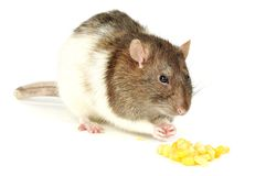 Rat with corn Stock Images