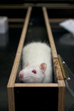 Rat in a corner of a maze during experiment royalty free stock photos