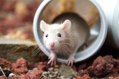 Rat crème Photo stock