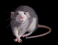 Rat crossing feet Stock Images