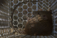 Rat. Crouched in a cage. (soft focus Royalty Free Stock Photography