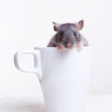 Rat in a Cup. A gray rat in a white cup Royalty Free Stock Photography