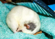 Rat curled up in sleep. White dumbo rat curled up sleeping Stock Photography