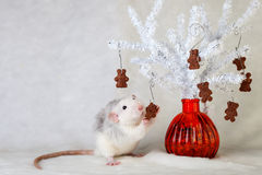 Rat décoratif mangeant des gâteaux aux pépites de chocolat Photos stock