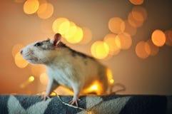 rat d'animal familier Image libre de droits