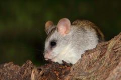 Rat d'arbre d'acacia Photo libre de droits