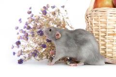Rat d?coratif d'abruti ? c?t? des fleurs de chrysanth?me sur un fond d'isolement blanc Panier en osier avec des pommes, animal fa photo stock