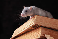 Rat dans la bibliothèque Photos libres de droits