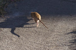 Rat In Daylight Going Into Shadows Stock Images