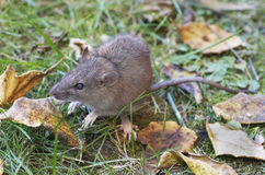 Rat In Daylight Royalty Free Stock Photography