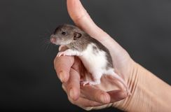 Rat de bébé dans la paume Photographie stock libre de droits