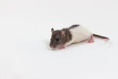Rat de Brattleboro, rat de laboratoire Photos stock