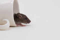 Rat de Brattleboro, rat de laboratoire Photo libre de droits