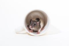 Rat de Brattleboro, rat de laboratoire Photographie stock libre de droits