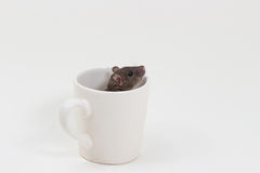 Rat de Brattleboro, rat de laboratoire Image stock