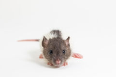 Rat de Brattleboro, rat de laboratoire Image libre de droits