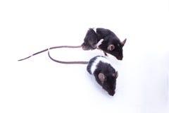 Rat de Brattleboro, rat de laboratoire Photos libres de droits