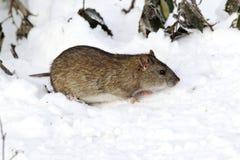 Rat de Brown, norvegicus de Rattus Photographie stock libre de droits