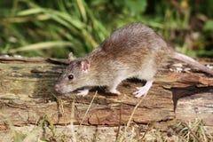 Rat de Brown, norvegicus de Rattus Photo libre de droits