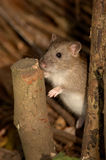 Rat de Brown - norvegicus de Rattus Photo stock