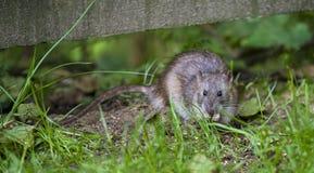 Rat de Brown - norvegicus de Rattus photo stock