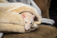 Rat de fantaisie d'animal familier Photo stock