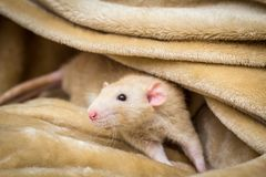 Rat de fantaisie d'animal familier Photos libres de droits