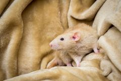 Rat de fantaisie d'animal familier Image stock