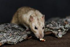 Rat de fantaisie gris essayant d'atteindre pour l'écrou Photographie stock libre de droits