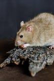 Rat de fantaisie gris mangeant des graines sur le fond foncé Photographie stock