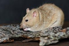 Rat de fantaisie gris mangeant des graines sur le fond foncé Photographie stock libre de droits