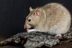 Rat de fantaisie gris mangeant l'écrou sur le fond foncé Photographie stock libre de droits