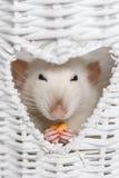 Rat de fantaisie mignon mangeant des festins dans la fenêtre de vase à forme de coeur Images libres de droits