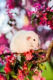 Rat de fantaisie timide se reposant dans la fleur de pomme rose se lavant Image libre de droits