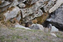 Rat de l'Himalaya Photos libres de droits