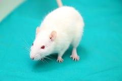 Rat de laboratoire Photo stock