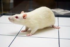 Rat de laboratoire albinos regardant sur le panneau ouvert de zone photos libres de droits