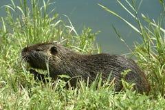 Rat de Nutria photo stock