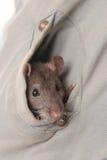 Rat de peau Images libres de droits