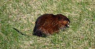 Rat de rivière Images libres de droits