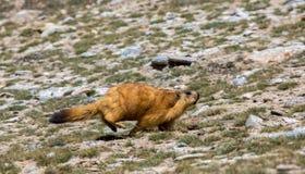 Rat de roche de Mushitage Images libres de droits