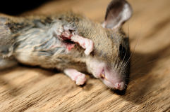 Rat death Royalty Free Stock Photo