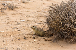 Rat in the desert Stock Image