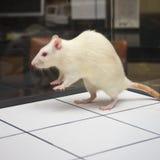 Rat die aan boord tijdens experiment springt Stock Foto