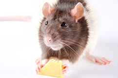 Rat die kaas eet Royalty-vrije Stock Afbeelding