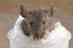 Rat dirty Stock Photography