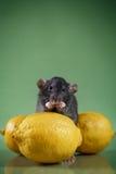 Rat domestique de Brown photographie stock