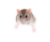 Rat domestique se penchant hors du trou déchiré par papier Photographie stock libre de droits
