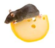 Rat drôle et fromage d'isolement sur le blanc Images libres de droits