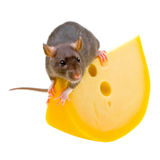 Rat drôle et fromage d'isolement sur le blanc Image libre de droits